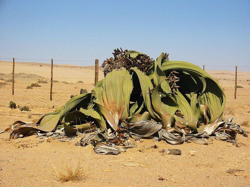 Африканският сукулент велвичия