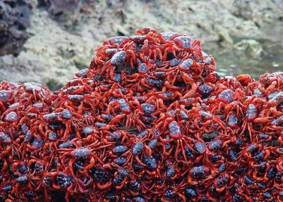 Червените крабове от остров Рождество
